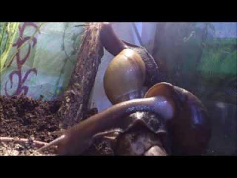Achatina fulica - Snails - Schnecken