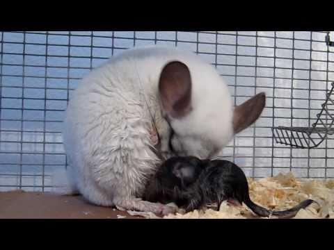 Chinchilla Giving Birth - Amazing!