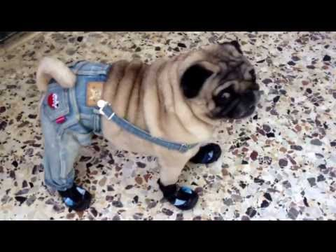 Pug walks in shoes and clothes (funny)