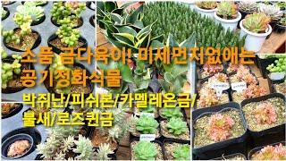 소품금다육이!미세먼지잡는 공기정화식물 택배! #무지개다…