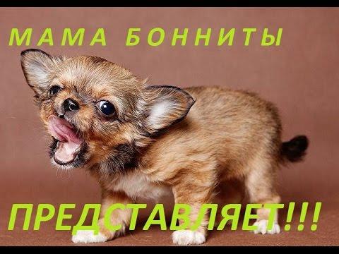 видео: Как постричь когти собаке чихуа