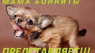 Как постричь когти собаке чихуа