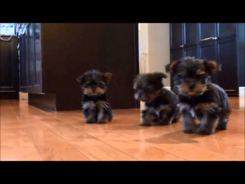Yorkshire Terrrier puppies for sale January 6, 2015