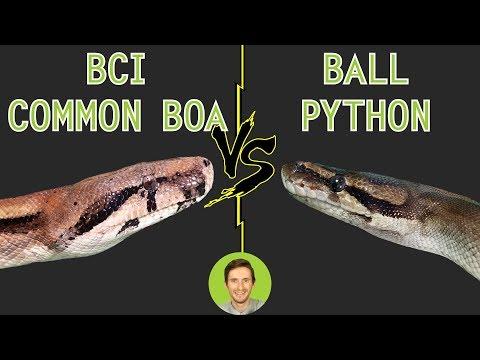 Ball Python vs Common Boa (BCI)