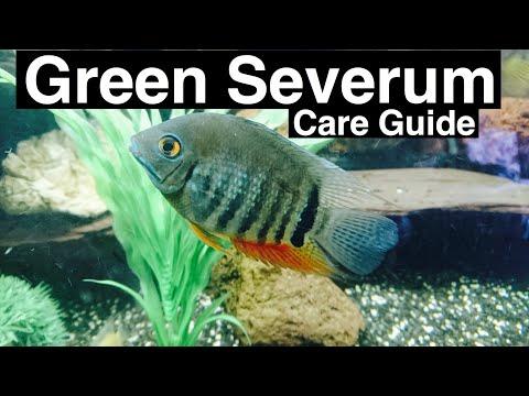 Green Severum Care (Heros Severus) & Tank Mates