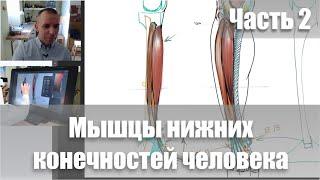 Мышцы ног Часть 2 Видеокурс Пластическая анатомия А Рыжкин