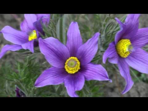 Цветок прострел (сон трава): посадка, фото и уход