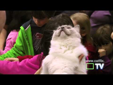 ragdoll cats and ragdoll kittens at cat show, the javits center, hd - adorable cats (with music)!