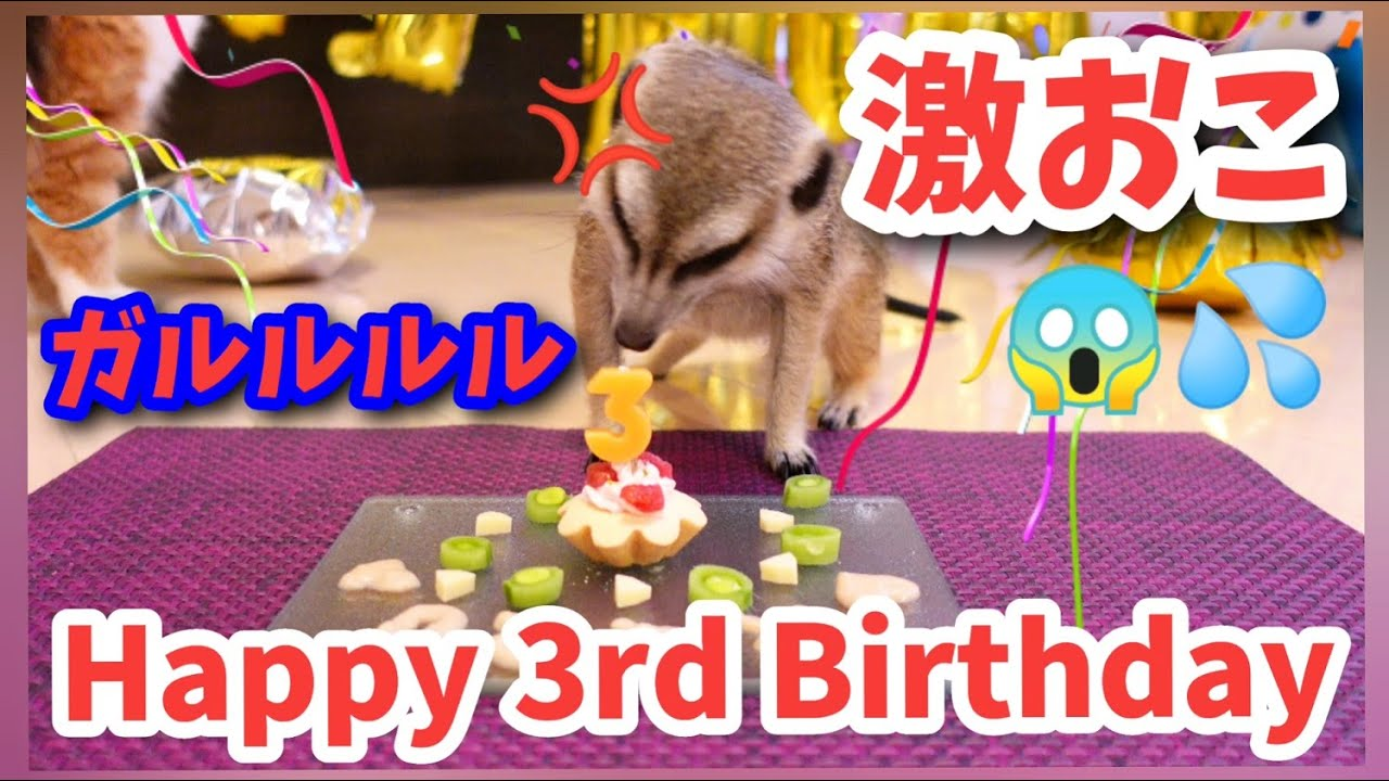 ケーキで豹変するミーアキャット~ラルHappy 3rd Birthday~[ミーアキャット,メインクーン,スコティッシュフォールド]