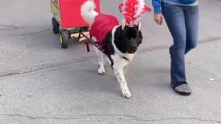 Dog Preps for Halloween Early With CircusThemed Outfit