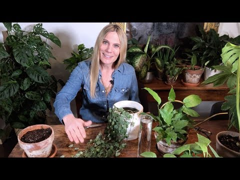 HOW TO PROPAGATE A CHAIN OF HEARTS