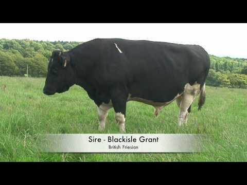 Beware of the Bull ! Holstein sweeper with cows
