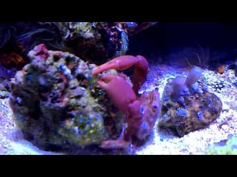 Crab eating bubble algae