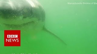 Great white shark tries to eat camera   BBC News