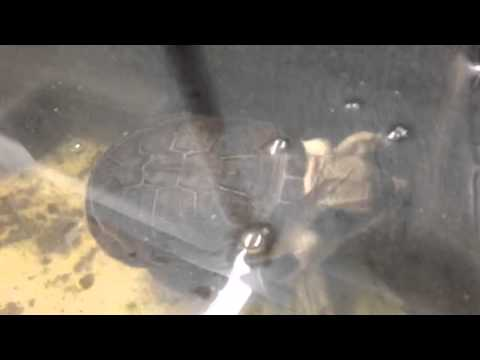 Adanson's Mud Turtle Breeding