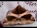 Genus Dysgonia Moth