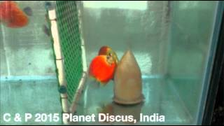 Manderian Passion Discus Fish Spawning