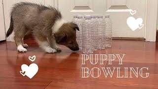 Puppy Dog Bowling * Sheltie shetland sheepdog * | Baby Puppy TV