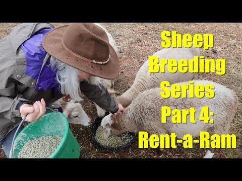 Sheep Breeding Series - Part 4: Rent-a-Ram