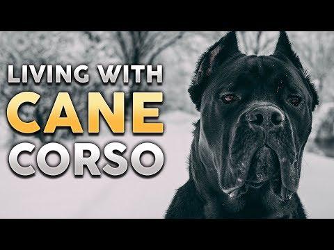 CANE CORSO! What It's Like To Live With A Cane Corso! (feat. Jason & Kara Corey)