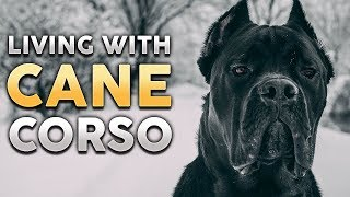 CANE CORSO! What It's Like To Live With A Cane Corso! (feat. Jason & Kara Corey)