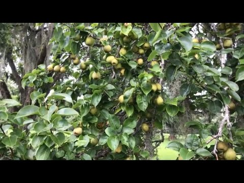 #69 How To Make A Pear Tree From A Cutting