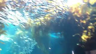 Lazy anchovies and sardines in the Kelp Forest  | Live From Monterey Bay!