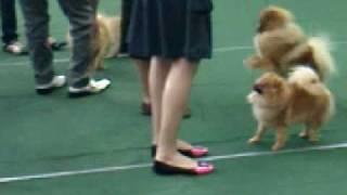 Pomeranian Dog Show.3gp