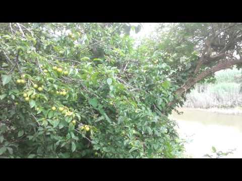 Yellow wild plum tree Mirabelle plum delightful UK