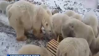 видео: На архипелаге Новая Земля в Архангельской области из-за нашествия белых медведей ввели режим ЧС