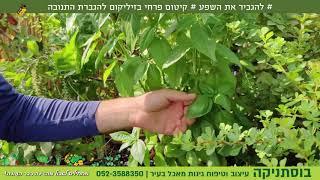 להגביר את השפע- קיטום פרחי בזיליקום