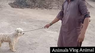 Komondor Dog first videos in My village
