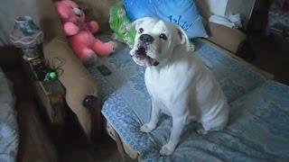 Поющие собаки. Ареяш играет - собачки поют!