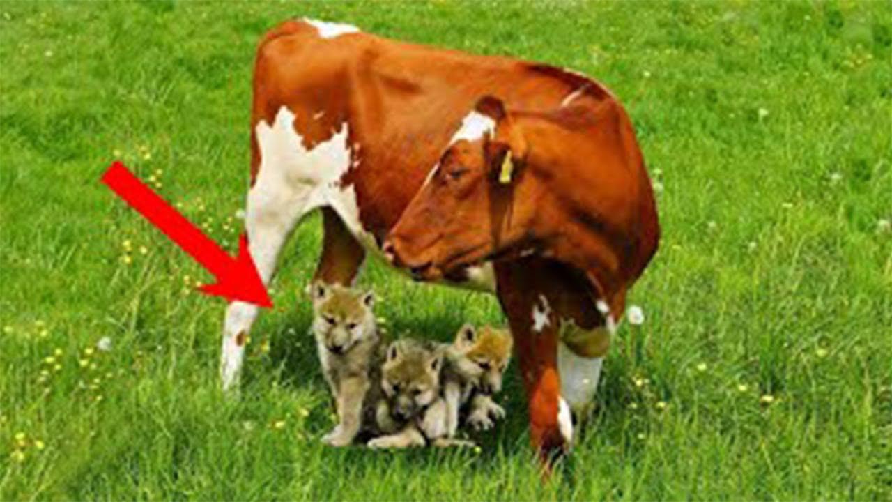 سوف يفاجئك سبب وقوف الذئب لحماية هذه البقر!