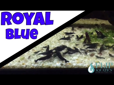 Breeding Royal Blue Tiger Shrimp - Pet Shrimp