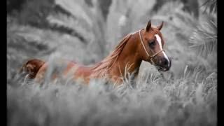 Арабские лошади!(Арабские скакуны - грациозные животные! Убедитесь сами, посмотрев моё видео. Приятного просмотра! https://youtu.be/E..., 2015-03-09T06:26:26.000Z)