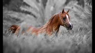Арабские лошади!
