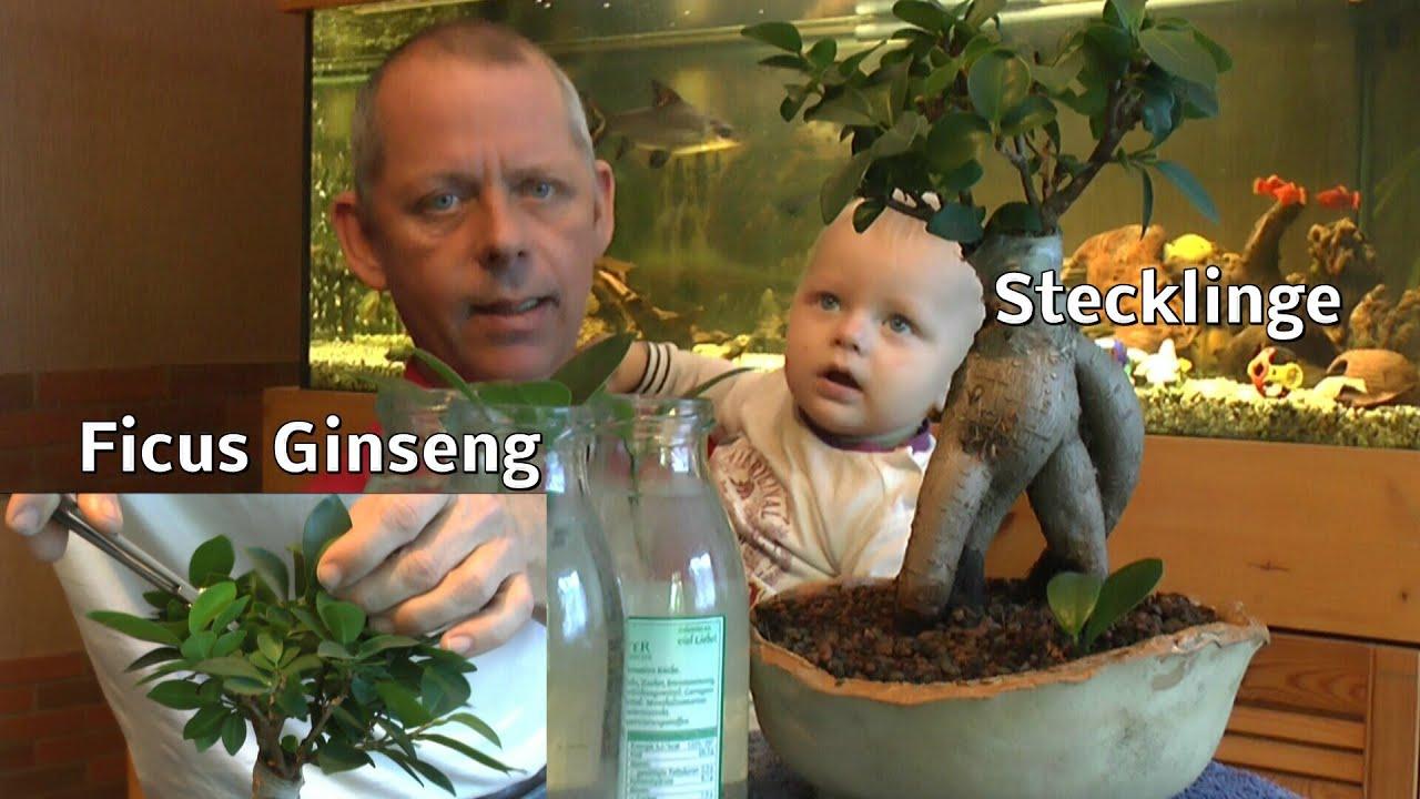 Bonsai Ficus Ginseng Schneiden Und Stecklinge Machen - Youtube Ficus Ginseng Bonsai Einpflanzen Tipps