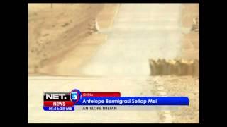 NET5 - Antelope Tibet Cina bermigrasi setiap Mei