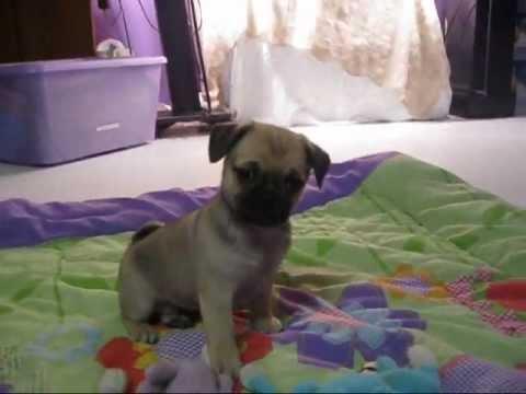 Chug Puppies 8 Weeks Old Litter 7 2012 Youtube