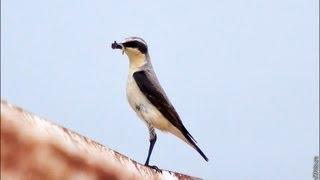 Птица Каменка фото и видео, центральная Россия, Липецкая область