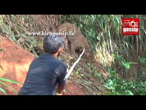 Leopard Caught In Gampola