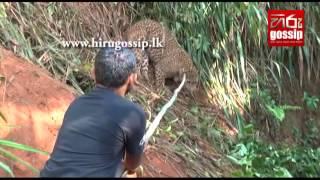 Leopard Caught In Gampola