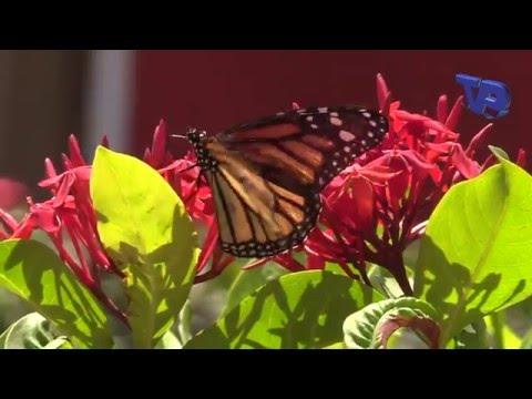 Butterfly flying in my garden (Curaçao, Dutch Caribbean)