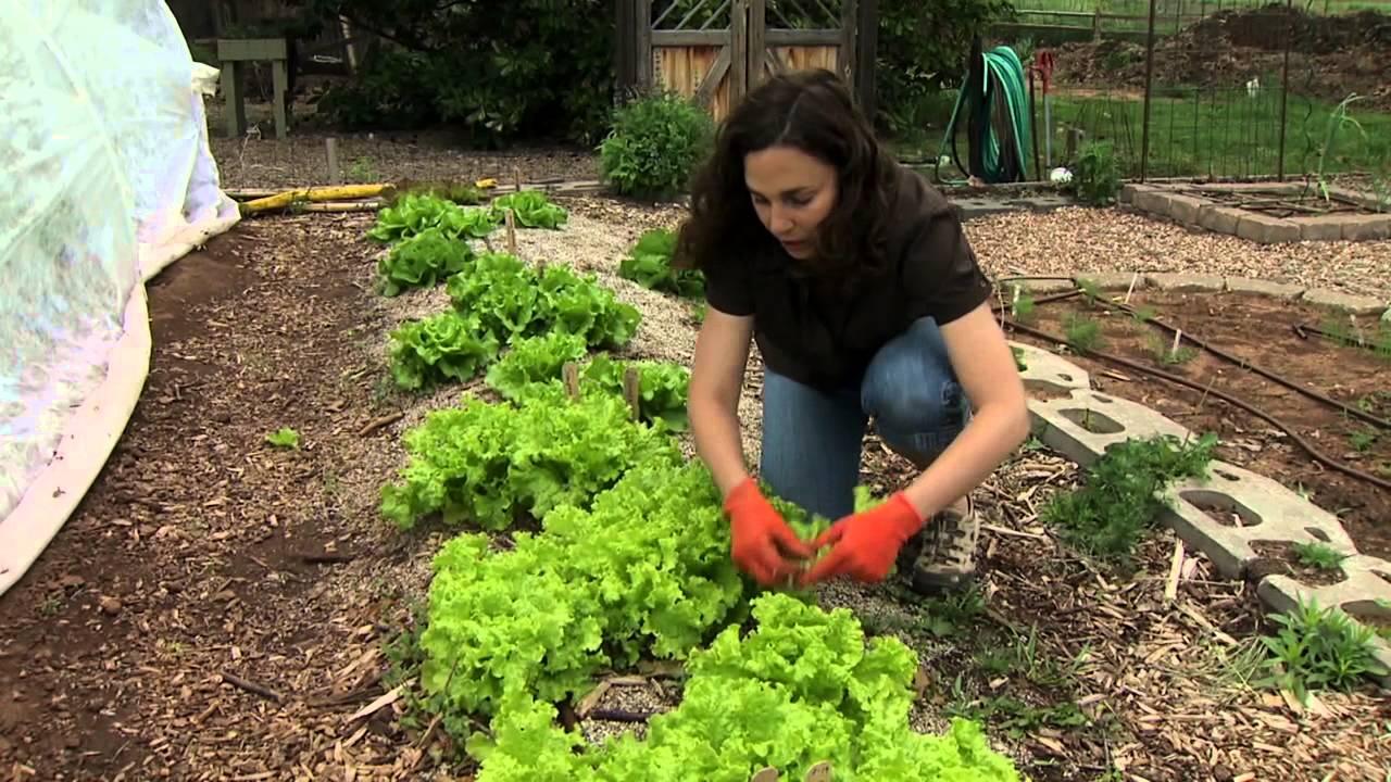 Harvesting lettuce youtube for How to pick lettuce from garden