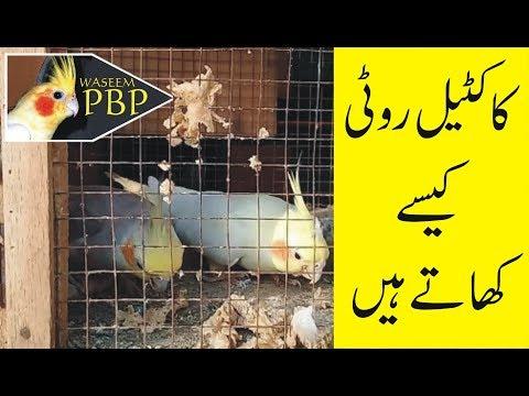 cockatiel roti kesy khate hen   by waseem zia   urdu hindi