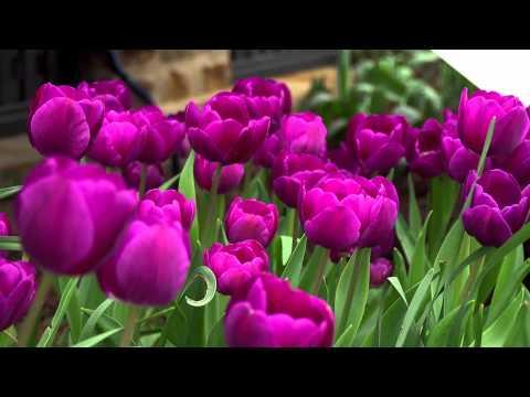 Purple Flowering Spring Bulbs