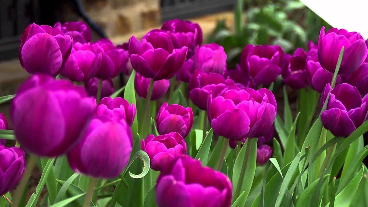 Purple Flowering Spring Bulbs Youtube