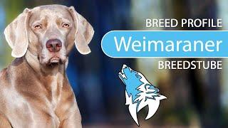 Weimaraner Breed, Temperament & Training