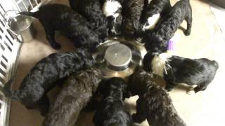 Katie Scarlet O'Carroll Puppies